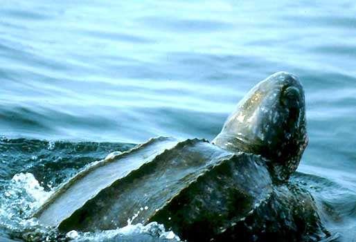 Leatherback Turtle 2