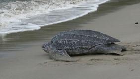 leatherback-turtle-trinidad-abuse