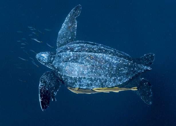 Leatherback Turtle wading through the ocean