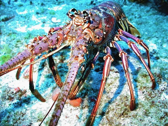 Creepy lobsters lurking under ledges - BVI Snorkelling