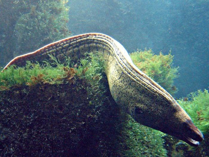 Moray Eels - BVI Snorkelling